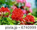 石南花 石楠花 シャクナゲの写真 6740999