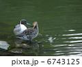 オナガガモ 野鳥 鳥類の写真 6743125
