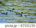 冬鳥 オナガガモ 野鳥の写真 6743130