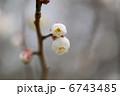ウメの花 6743485
