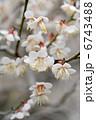 ウメの花 6743488