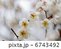 ウメの花 6743492