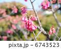 緋寒桜 ヒカンザクラ カンヒザクラの写真 6743523