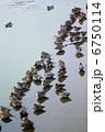 オナガガモ ヒドリガモ 水鳥の写真 6750114