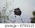 オナガガモ ヒドリガモ 水鳥の写真 6750115