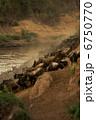 崖を降りるヌーの群れ 6750770