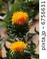 ベニバナ 紅花 植物の写真 6756631