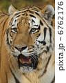 アムールトラ タイガー 動物の写真 6762176