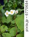 シラユキゲシ 6770684