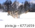 雪の中を走る犬-2 6771659