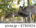 小鹿 子鹿 仔鹿の写真 6780924