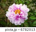 ボタン 牡丹 花の写真 6782013