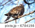 鳩 ハト キジバトの写真 6784198