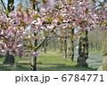 東京に咲く河津桜 6784771