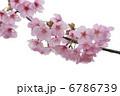 河津桜 6786739