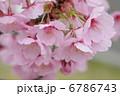 河津桜 6786743