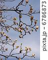 半纏木 百合の木 ハンテンボクの写真 6786873