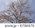 半纏木 百合の木 ハンテンボクの写真 6786876