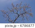 半纏木 百合の木 ハンテンボクの写真 6786877