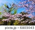 柳 桜 ソメイヨシノの写真 6803043
