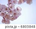さくら カンヒザクラ 寒緋桜の写真 6803848