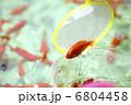 金魚すくい 6804458