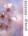 フラワー カンヒザクラ 寒緋桜の写真 6804506