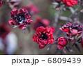 ギョリュウバイ マヌカ レプトプペルマムの写真 6809439
