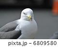カメラ目線のウミネコ。 6809580