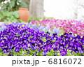 3月花 ビオラ・スミレ科66群生 6816072