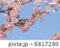 河津桜 カワヅザクラ さくらの写真 6817280