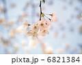 満開の桜3 6821384
