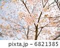 満開の桜2 6821385