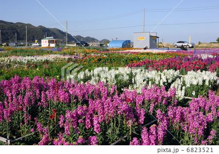 千倉の花畑 6823521