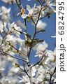 春を告げるメジロ 6824795