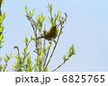 めじろ 目白 鳥の写真 6825765