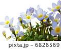 ヒナソウの花 6826569