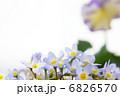 ヒナソウの花、バックにパンジー 6826570