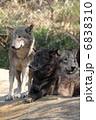 狼 オオカミ シンリンオオカミの写真 6838310