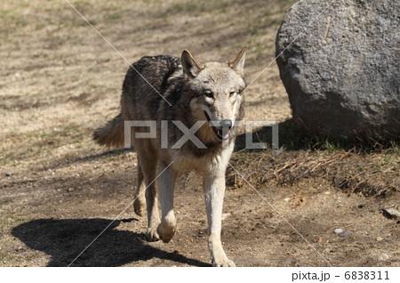 シンリンオオカミ 6838311