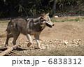 狼 オオカミ シンリンオオカミの写真 6838312