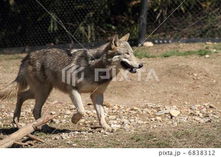 シンリンオオカミ 6838312