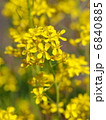水菜 ミズナ 花の写真 6840885