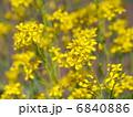水菜 ミズナ 花の写真 6840886