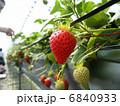 苺 イチゴ いちごの写真 6840933