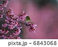 メジロと桜色 6843068