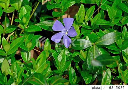 植物・ピンカミノール キョウチクトウ科 6845085