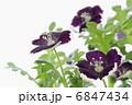 ルリカラクサ 花 ネモフィラの写真 6847434