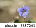 タチツボスミレ(立坪菫) 6857293