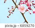 シダレザクラ 6859270